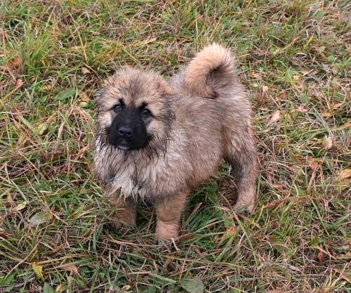 собачьи бои овчарка: имя для немецкой овчарки.