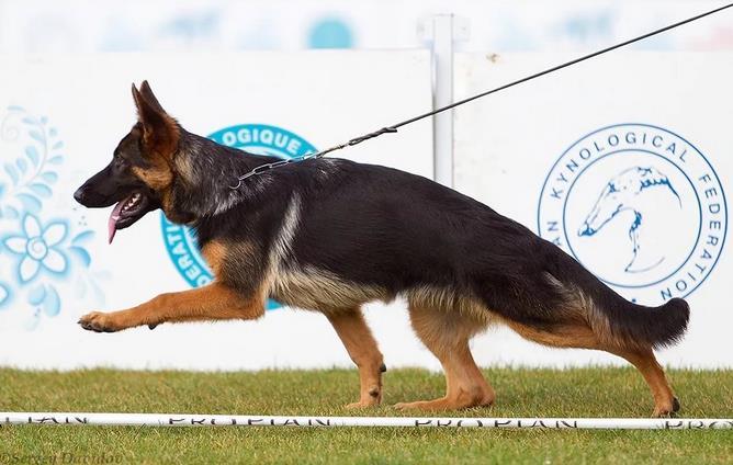 Подготовка собаки квыставке